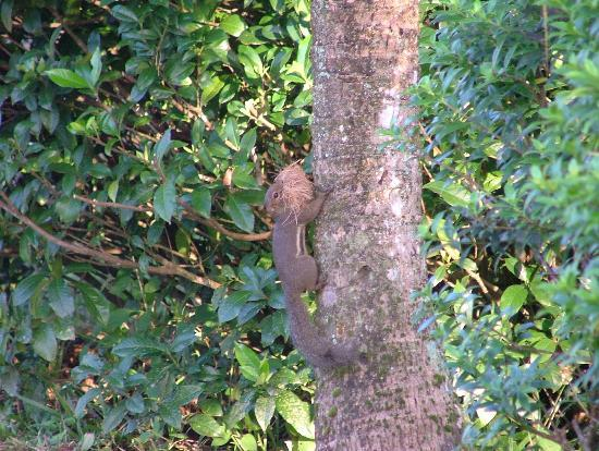 Paganakan Dii Tropical Retreat: Squirrel with nest material