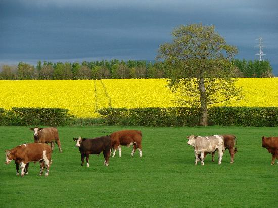 Crosshall Farmhouse B&B: cattle in front of house