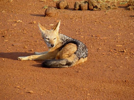 Madikwe Safari Lodge: Black backed jackal on the edge of the airstrip