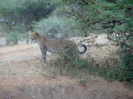 Madikwe Safari Lodge: Female Leopard in the gather gloom of dusk