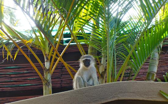 Ndiza Lodge and Cabanas: Monkeys on our roof