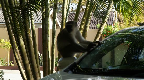 Ndiza Lodge and Cabanas: Monkeys on our car (photo without zoom)