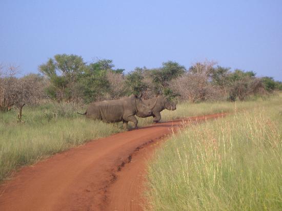 Madikwe Safari Lodge: Nashörner on Tour