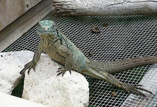 Blue Iguana Recovery Program Safari Tour:                   Captive-bred juvenile Blue Iguana