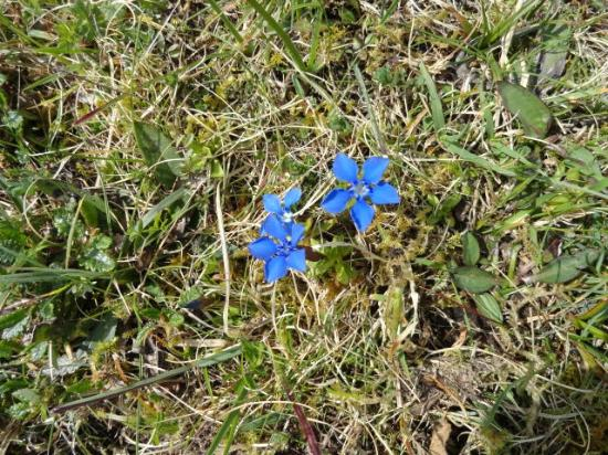 Cappabhaile House : rare blue gentians make walking all that much more lovely