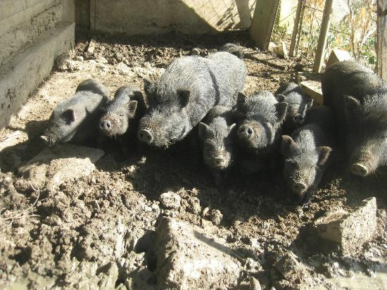 Italy Farm Stay: Pigs at the farm!