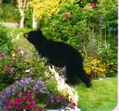 A Rosy Outlook B and B: Black bear tip toeing thru the flowers