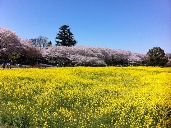Satte, Japan: 権現堂の桜堤と菜の花畑