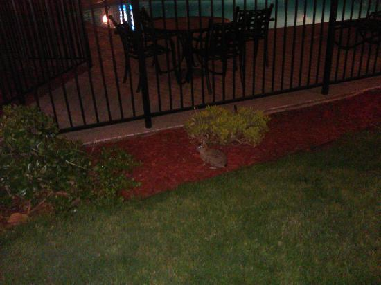 Ramada San Diego North Hotel & Conference Center: This bunny was in the garden.  Cool!