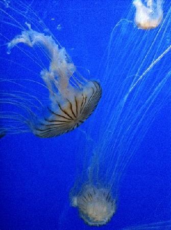 Aquarium Mare Nostrum : méduses