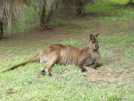 Lathami Lodge: Native kangaroo