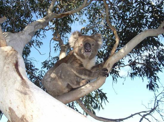 Lathami Lodge: Resident Koala sitting in back yard tree
