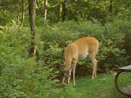 Loft Mountain Campground: One of the many deer that visited our camp site.