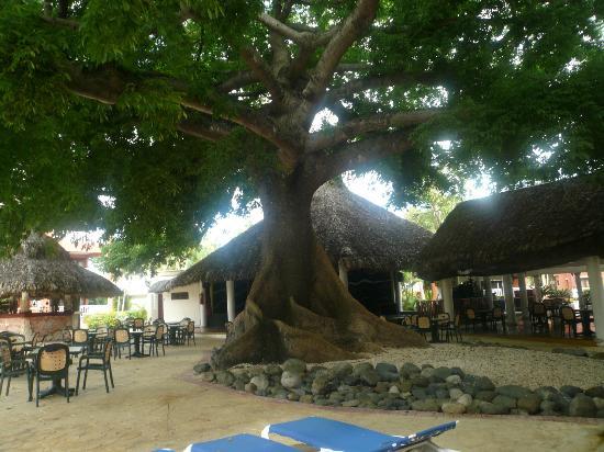 Boca Chica: tree Ceiba