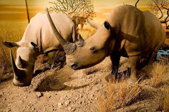 International Wildlife Museum: White Rhinoceros