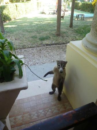 Occidental Papagayo - Adults only: Friendly Raccoon