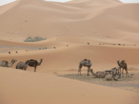 CamelTours: sunday morning in merzouga