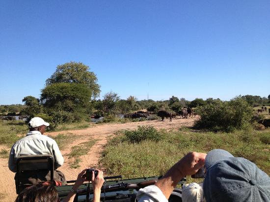 Umlani Bushcamp: a herd of Cape buffalo on a game drive