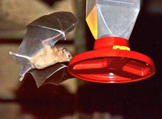 Deep Blue Resort Utila: fruitbats visiting after dark