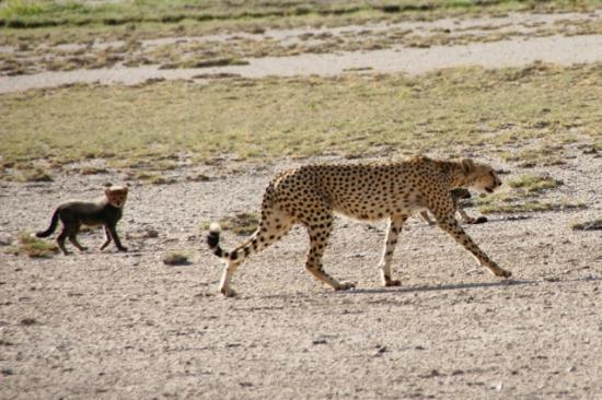 Tortilis Camp: Cheetah Mom with cups