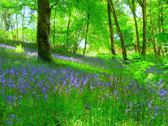 Brora Lodge B&B: A local bluebell wood