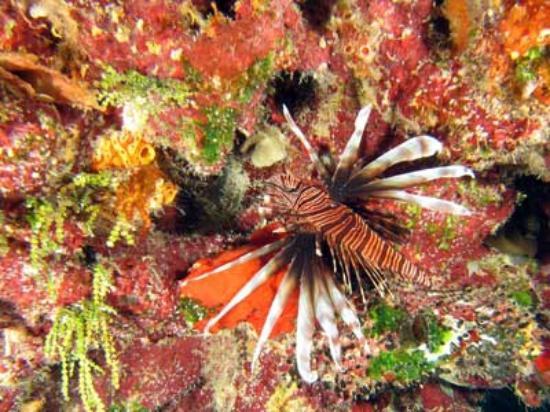 Jardines De La Reina: Peixe-leão camuflado nos corais