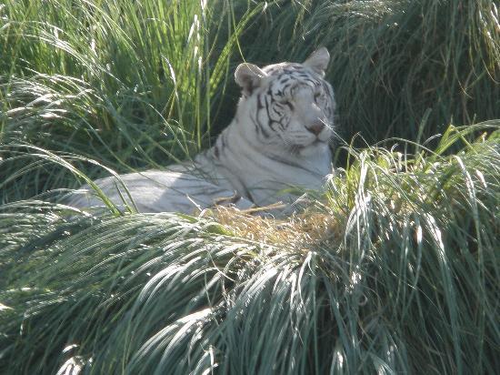 General Roca, อาร์เจนตินา: Tigresa Blanca