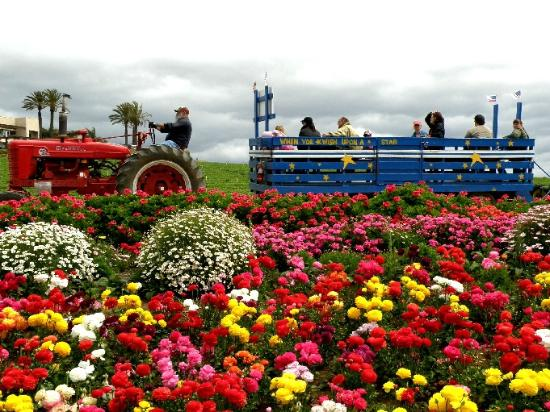 The Flower Fields at Carlsbad Ranch®: Farmal tractor tour through the fileds
