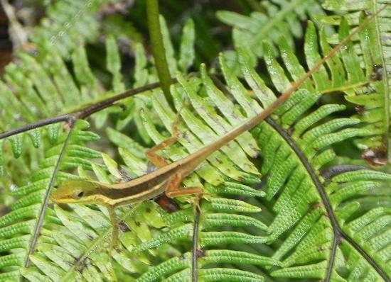 The El Yunque Rain Forest: El Yunque Gecko on ferns