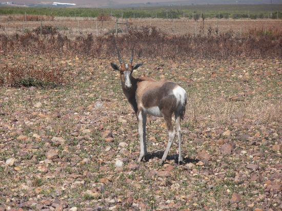 Bontebok National Park: bontebok grazing
