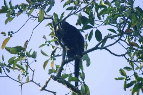 Nitun Private Reserve: Howler monkey, Ruinas de Tikal, Guatemala