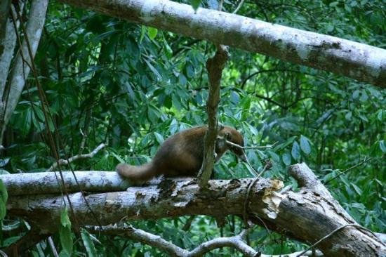 Nitun Private Reserve : Pizote seen during Tikal trek