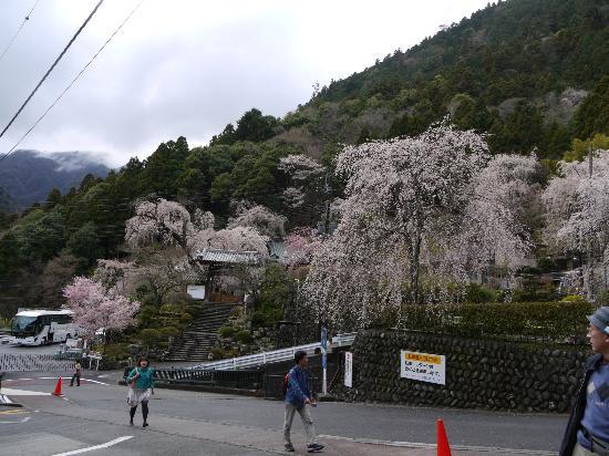 Minobu-cho, Japan: 久遠寺の枝垂桜