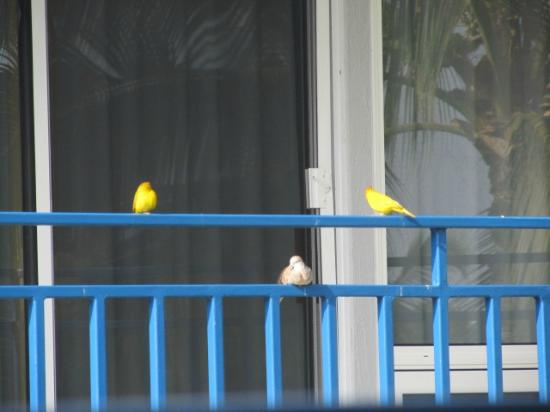 Wyndham Mauna Loa Village: birds on patio across from us - love the yellow birds!