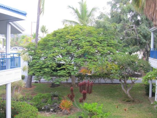 Wyndham Mauna Loa Village: large tree my son climbed into - next to our unit