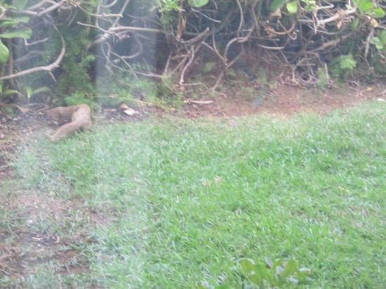 Wyndham Mauna Loa Village: more mongoose!!