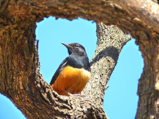 Pilanesberg National Park, Sydafrika: mocking chat