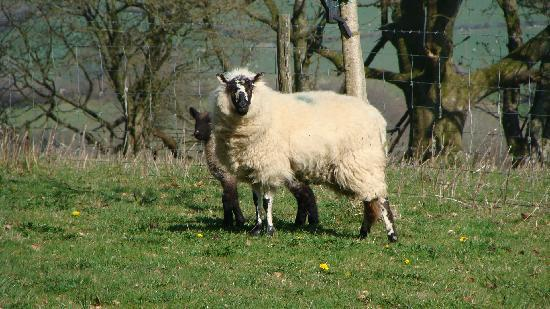 Cwrt Mawr Mansion Bed & Breakfast: local sheep