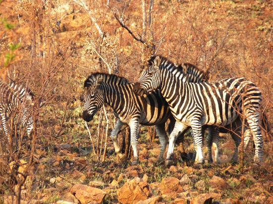 Golden Leopard Resort - Manyane: zebra
