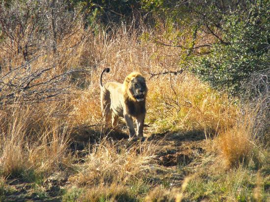 Golden Leopard Resort - Manyane: lion