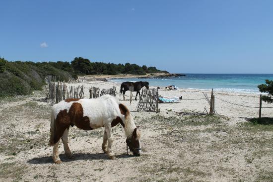 Protur Sa Coma Playa Hotel & Spa: Horses in the local Park/Beach