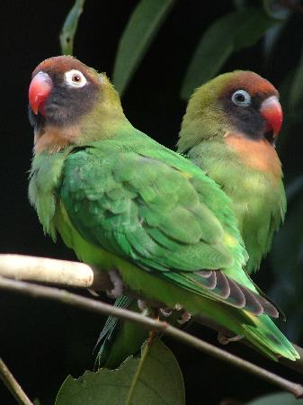 Farnham, UK: Black Cheeked Lovebirds