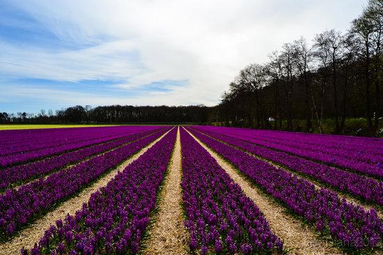 The hyacinth fields just accross Keukenhof Gardens