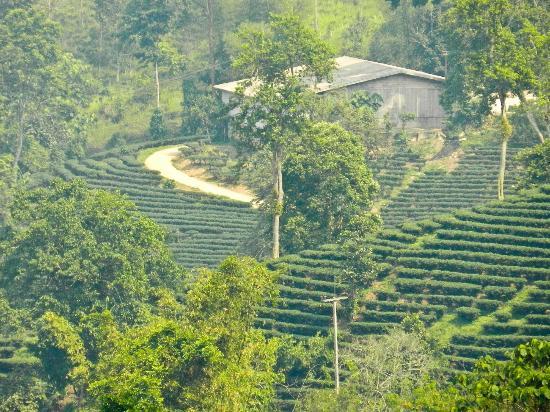 Akha Hill House: Tea plantations