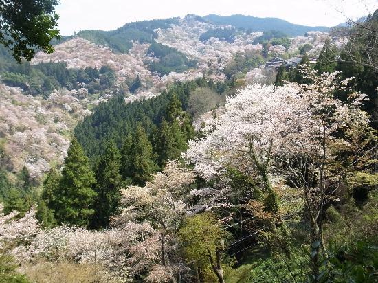Mt. Yoshino: 一目千本