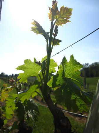 Stony Knoll Vineyards: vines ... just starting out in spring