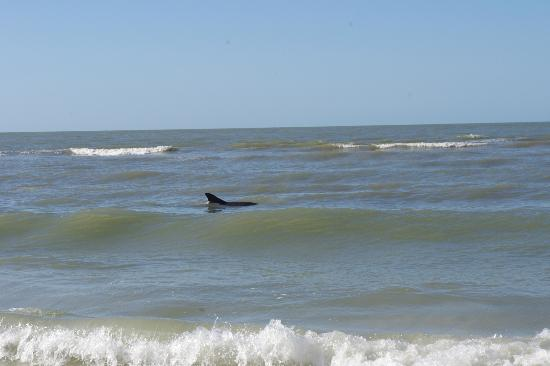 Seaside An All-Suite Resort: Dolphins playing along the beach