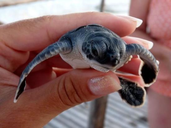 Sea Turtle Hatchery : La relache des bébés