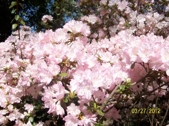Hills & Dales Estate: Blooming azaleas.