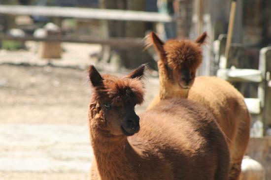 Winslow Farm Animal Sanctuary: Alpaca